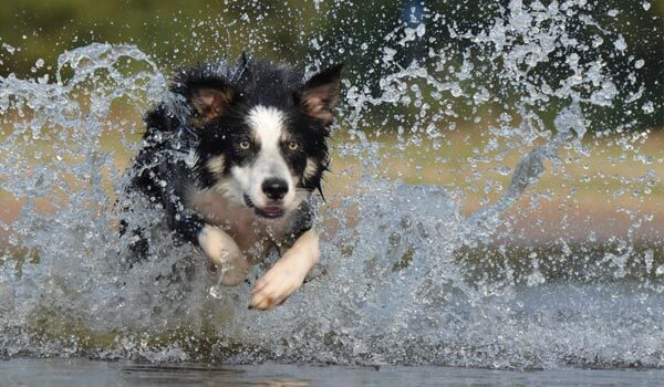 Running dog in water